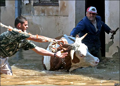 Serbian farmers rescue a cow from the floodwaters