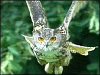 Eagle owl - generic