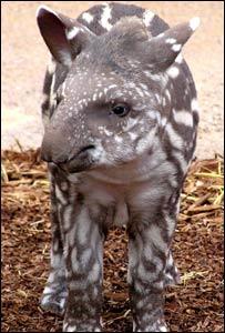 Brazilian tapir Coco - Pic: Paignton Zoo