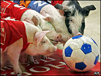 Pigs chase a football