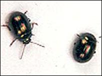 Rosemary beetles (Royal Horticultural Society)