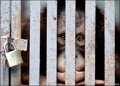 Orangutan at the Forestry Department in Bangkok