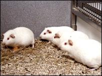Guinea pig (RDS)