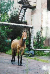 Przewalského kone na   sídlisku