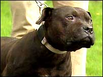 The pit bull terrier found at the home of Ger Cavlan