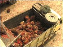 Palm oil fruit in a truck (Photo: Nick Lyon)