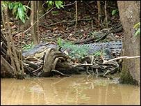 Crocodile on the river bank in Borneo (Photo: Louise Coletta)