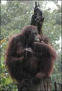 Orangutan with baby in Borneo (Photo: Louise Coletta)