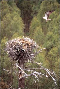 Osprey flying into nest