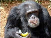 Bruno (Photo: Tacugama Chimpanzee Sanctuary)