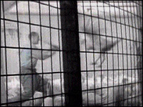 Secret footage of turkey at the Bernard Matthews site