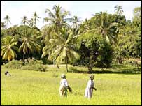 Rice fields in Zanzibar