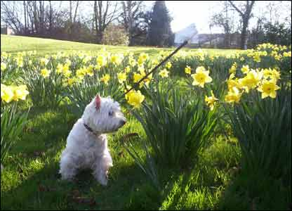 Sarah Williams sent in this picture of the family dog, Glen, amongst the daffodils in Pontllanfraith