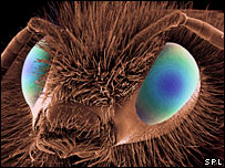 Imagen microscpica de una abeja (foto: SPL)