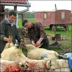 Skinning sheep