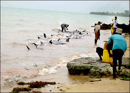 Массовый выброс стаи черных дельфинов на берег произошел на...