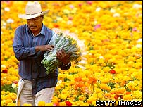 Migrant worker gathering flowers
