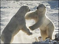 Polar bears.  Image: Robert & Carolyn Buchanan