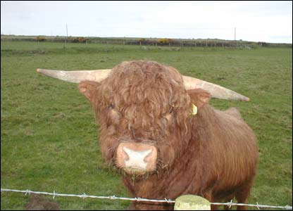 An inquisitive bull at St David's, Pembrokeshire (Ian Jenkins, Swansea)