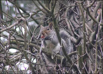 A squirrel at Cyfarthfa Castle, Merthyr (Doug Urquhart-Mitchell from Abercanaid)