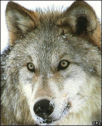 Grey wolf (SPL)