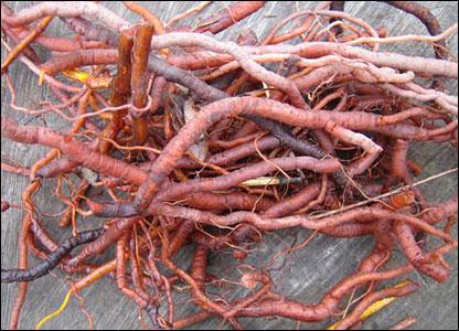 ریشه روناس دارویی