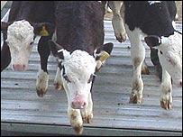 Calves arriving at Carmarthen livestock mart