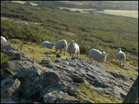 Sheep ; picture Rhiw.com