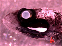 Male dragonfish  (Image: Tracey Sutton/Harbor Branch Oceanographic Institution)