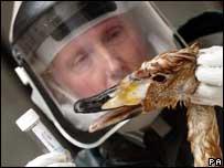 Scientist examining dead swan, PA