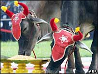 Royal oxen eat during the annual ploughing ceremony in Phnom Penh on 16 May 2006