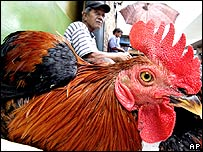 A roadside livestock vendor waits for customers sitting among his chickens in Jakarta, 04 April 2006.