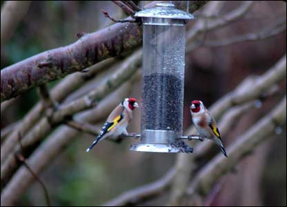 Two goldfinches in the garden of David Crane in Hay on Wye