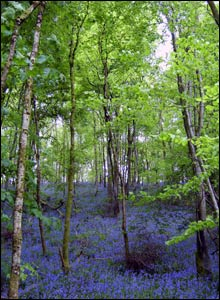 Bluebells in Castle Woods, in Dinefwr Park near Llandeilo (David Bevan)
