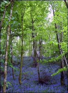 Bluebells in Castle Woods, in Dinefwr Park near Llandeilo (David Bevan)
