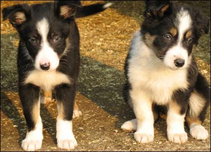 Colin Humphreys, who lives near Caernarfon, sent in this gorgeous picture of two eight-week-old border collie pups