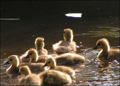 New goslings (Canadian Geese) on Llandrindod Wells lake, sent by John McMahon
