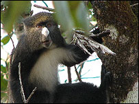 Putty-nosed monkey (Image: Kate Arnold)