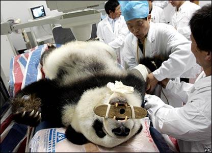 Ba Si, a 26-year-old panda, lies on the examining table at the hospital in Fujian