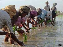 Rice being harvested in paddy fields