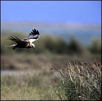 Marsh harrier  (Courtesy of RSPB)
