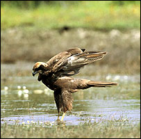 Marsh Harrier  (Courtesy of RSPB)
