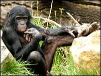 Bonobo (MPI-EVA)