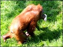 Orangutan (Josefine Kalbitz/MPI-EVA)