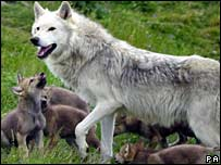 Highland Wildlife Park's wolf Tor in June 2000