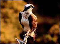Osprey - generic