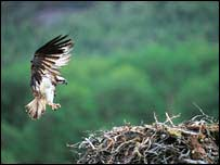 Osprey - generic (Picture by RSPB)