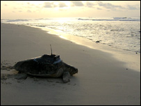 Tagged loggerhead turtle enters sea. Image: Lucy Hawkes, University of Exeter