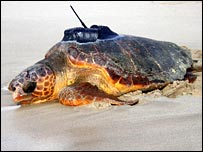 Loggerhead turtle with radio tag. Image: Lucy Hawkes, University of Exeter