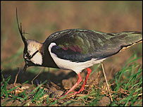 Lapwing (Image: P N Watts/English Nature)